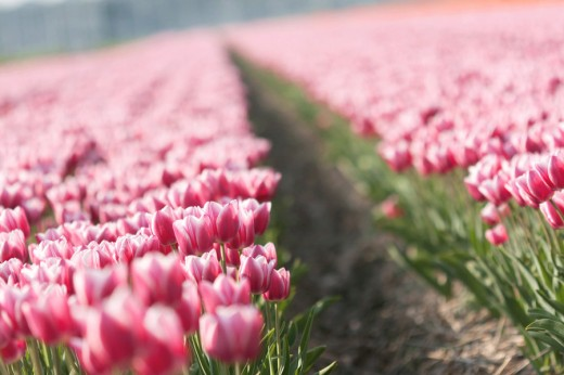 A Field with Lovely Tulips