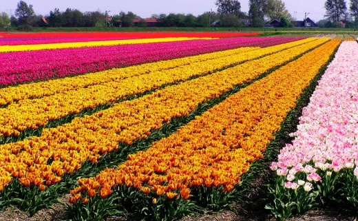 Dutch Tulip Fields I