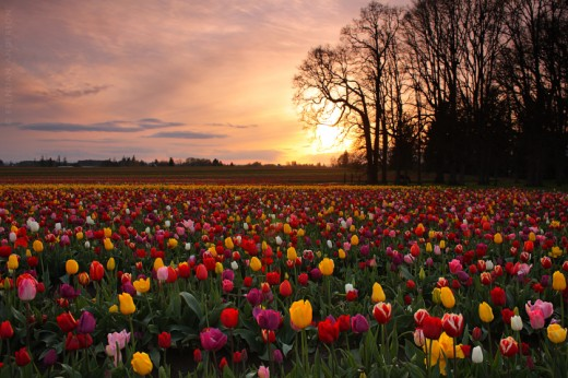 Tulip Sunset