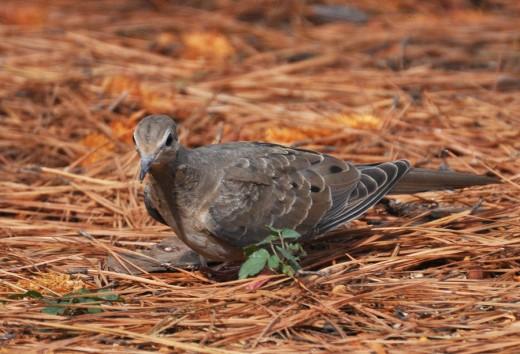 Dove in the Straw