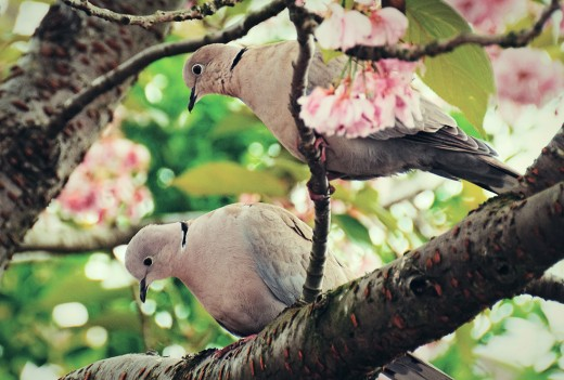 Doves in Blossom