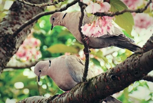 Doves in Blossom