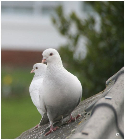 Doves on my Roof