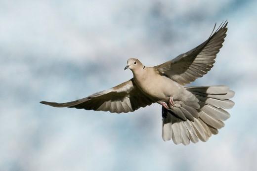 Eurasian Collared Dove 1