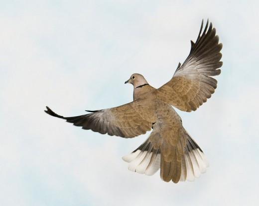 Eurasian Collared Dove 5