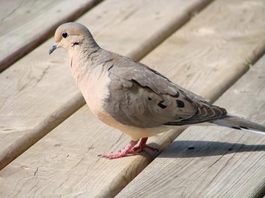 Portrait of a Dove 2