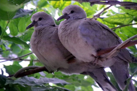 Two Turtle Doves by Moose-Art