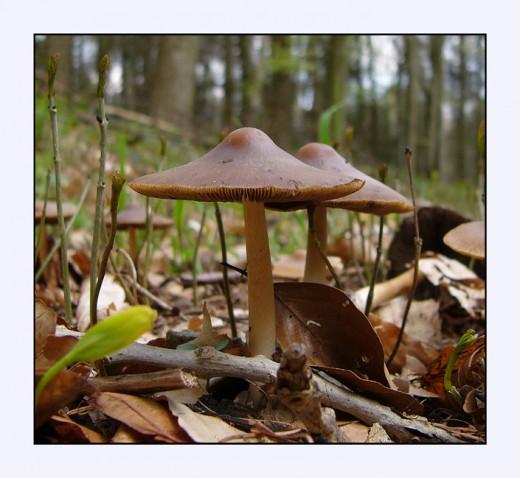 A mushroom in spring