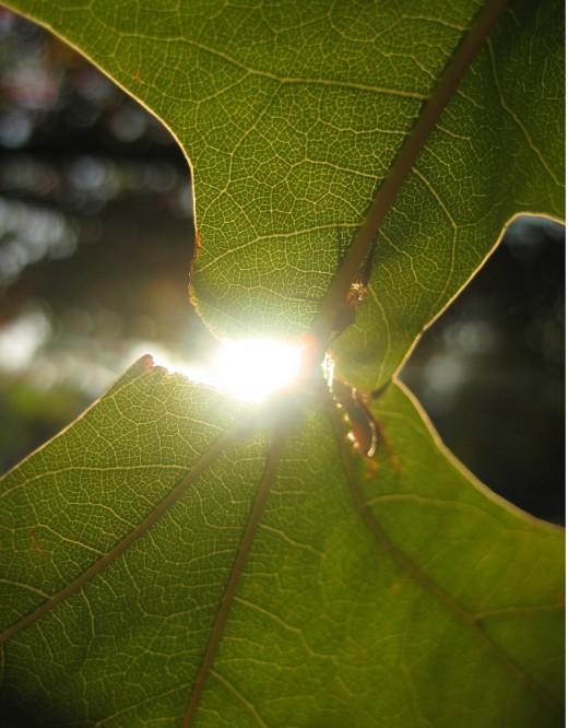 An Autumn Morning's Sunlight Shining Through a Leaf
