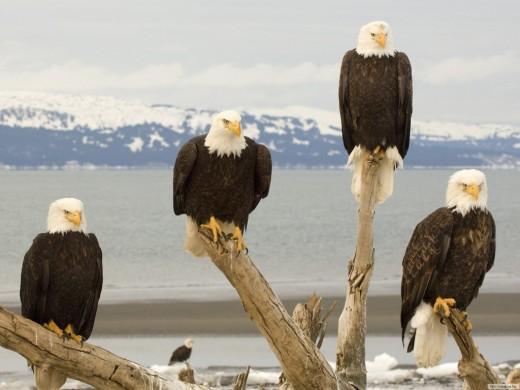 Bald-eagle, Alaska