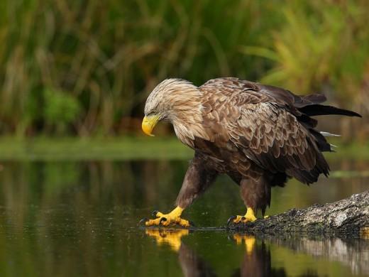 Cold Eagle