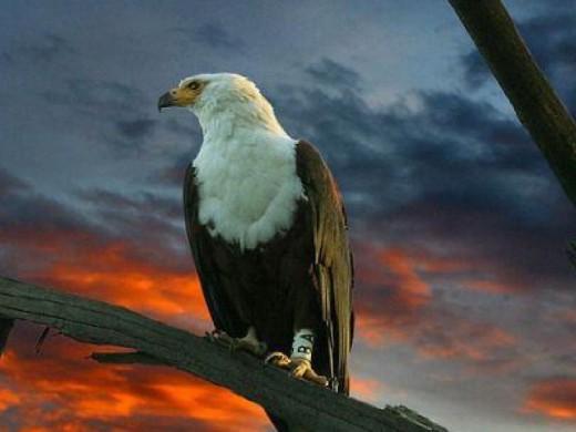 Eagle Wallpaper for Desktop
