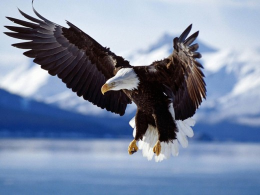 Eagle-wallpaper