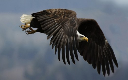 Great Eagle Wallpaper