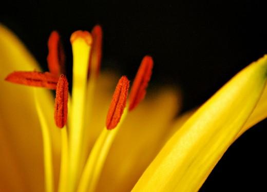 Hybrid Lily Stamens Macro