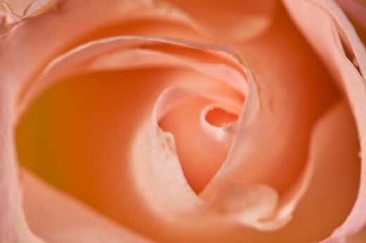 Macro Photography - Rose