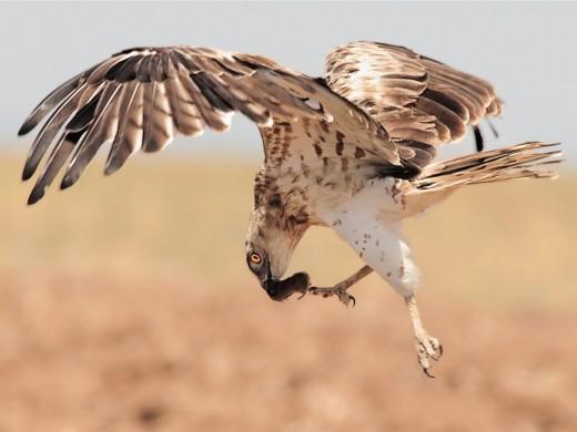 Short-Toed-Eagle