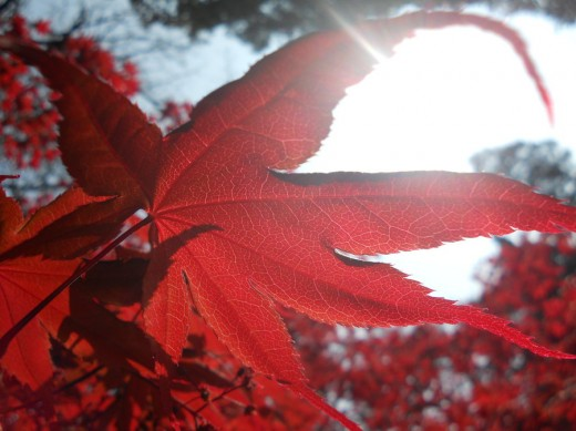 Sunlight on scarlet