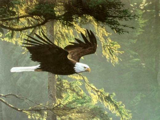 The Bald Eagle Wallpaper