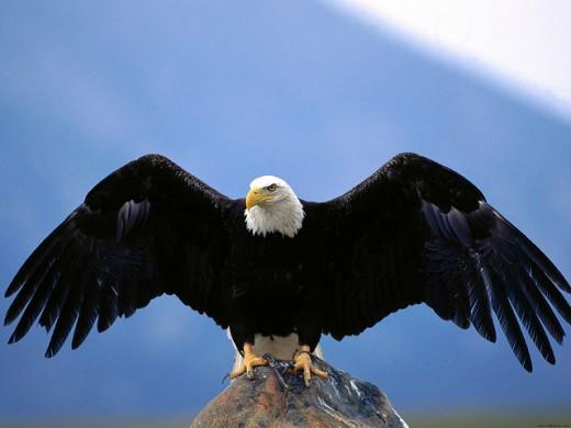Wingspan Bald Eagle Normal