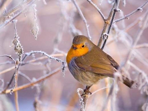 Winter Bird wallpapers