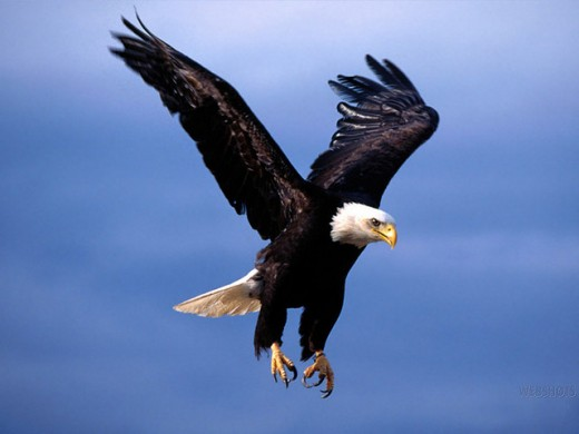flying-eagle-wallpaper