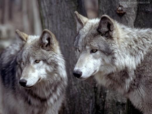 Big Wolves