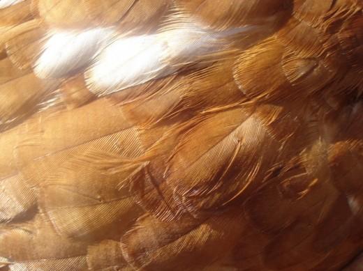 Chicken Feathers Texture 1