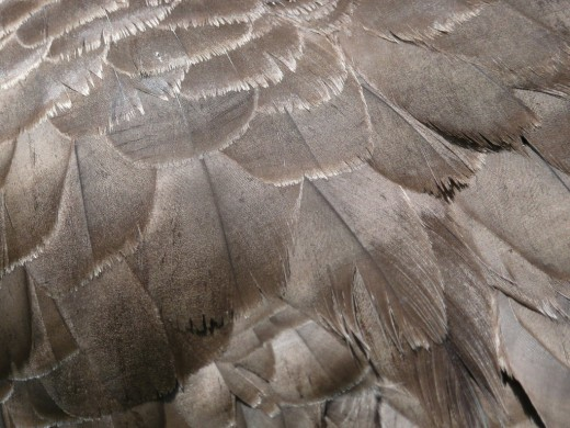 Feather Textures