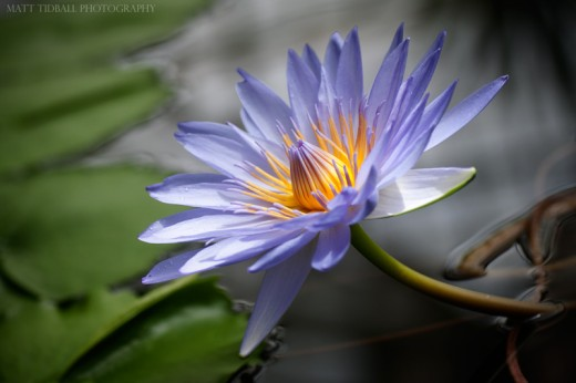 Lily Flower 2