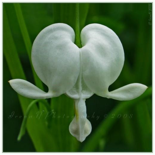 Lyre Flower