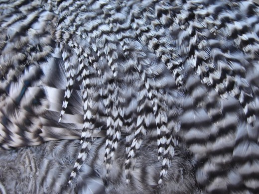 Striped Chicken Feathers