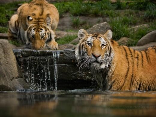 The Tiger Bathroom - Wallpaper