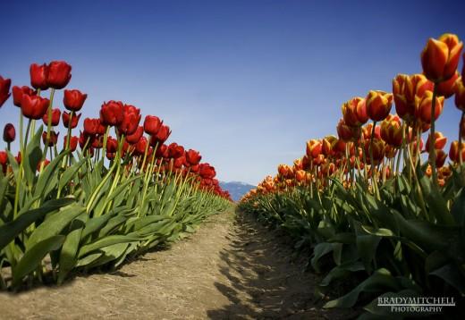 Depth in Tulips