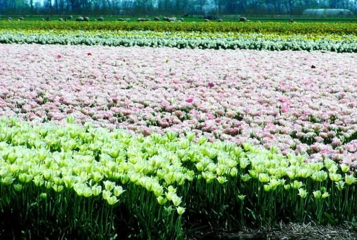 Dutch Tulip Fields IV
