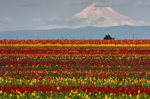 Mount Hood and Tulip Fields