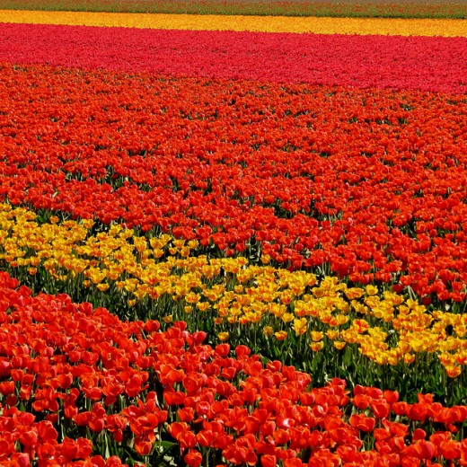 Multicolored Tulip Field