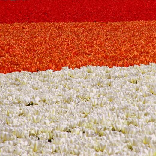 Tricolore Tulip Field