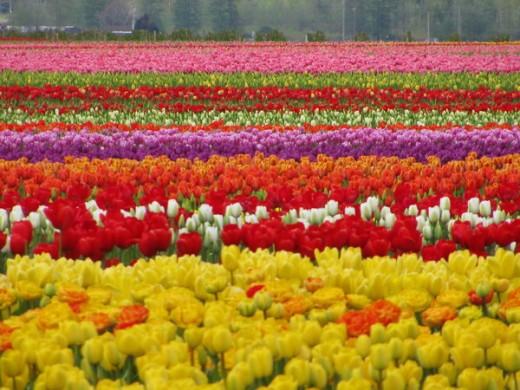 Tulip Field by Horseradish427