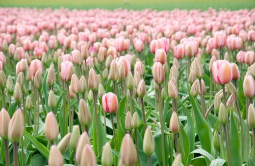 Tulip Field by Nadik