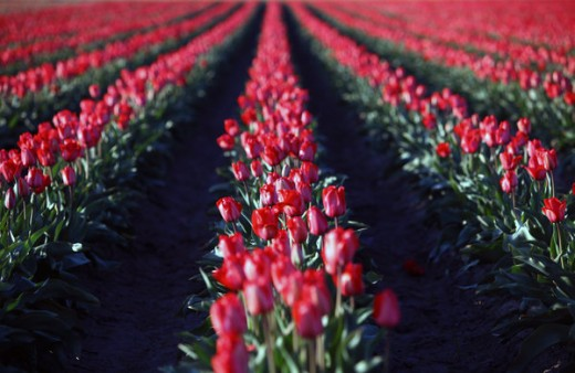 Tulip Fields 4