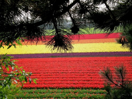 Tulip Fields 6