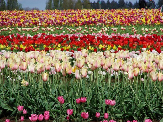 Tulip Fields Never End