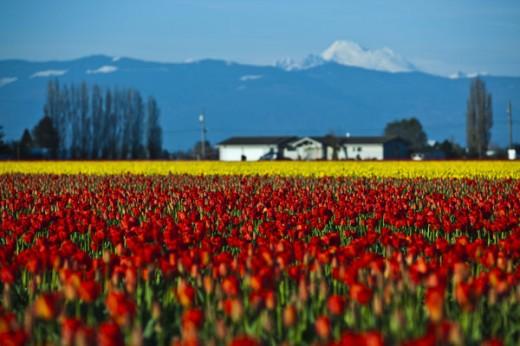 Tulip Fields Trailer