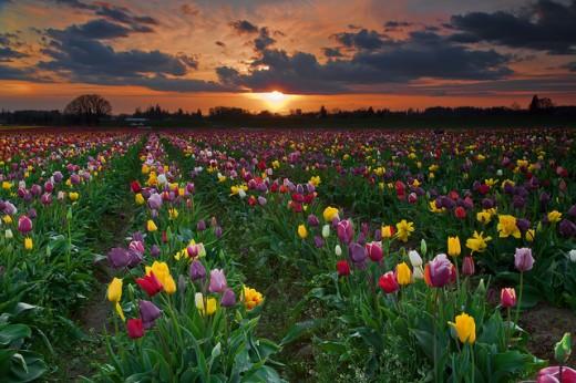 Tulip Fields at Sunset