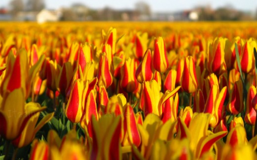 Tulip Fields by Itzalive